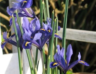 Spring Irises in a pot