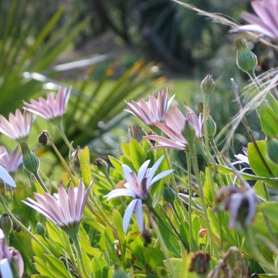 Those lovely South african daisies that clothe the top of banks so well