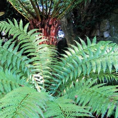 Tree fern in Cornwall