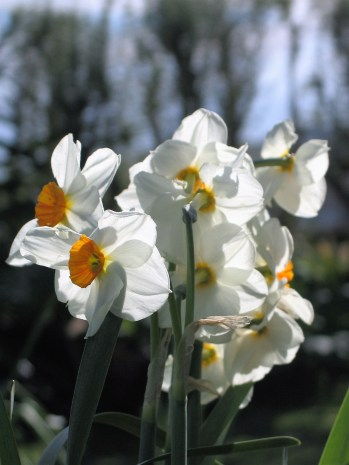 The last papery white daffodils
