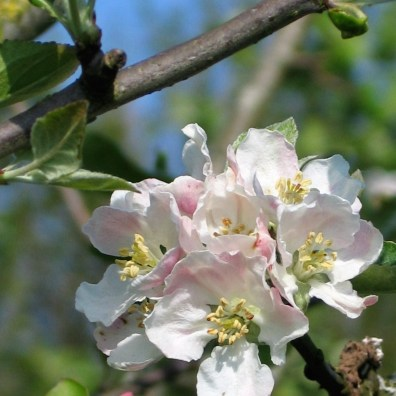 Apple blossom on a vintage west country variety