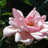 An old fashioned rose fills teh courtyard garden with scent