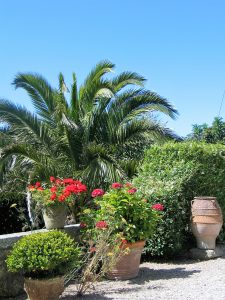 Date palms red garaniums and box give a mediterranean feel to the terrace at Ednovean Farm