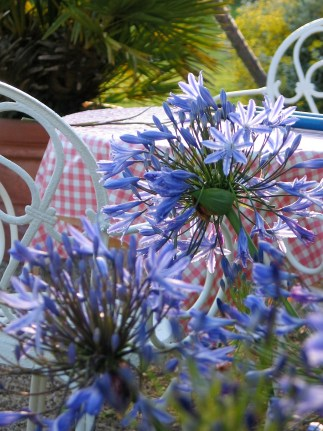 Agapanthus grwo wonderfully in Cornwall