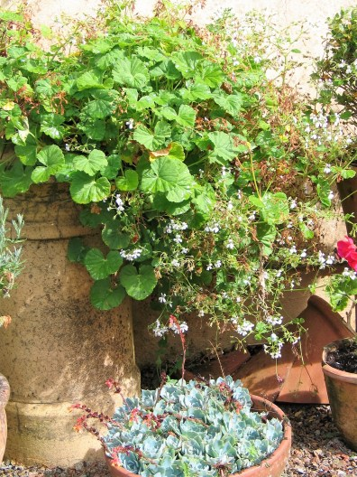 Chimney pots full of scented leaved Geraniums