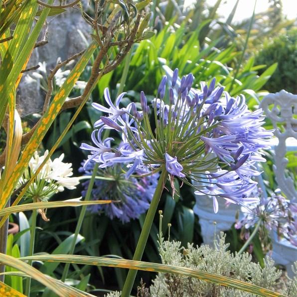 blue agapnthus bloom