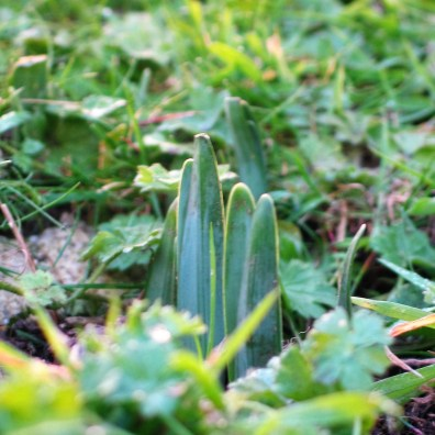 spring daffodils emerging in autumn