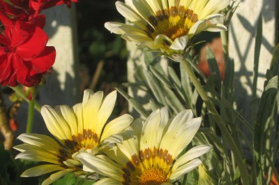 evening sunshine of summer daisies set on a garden bench