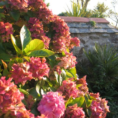Pink hydrangeas in the golden hour