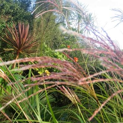 Tawny red miscanthus grass seeds in September garden