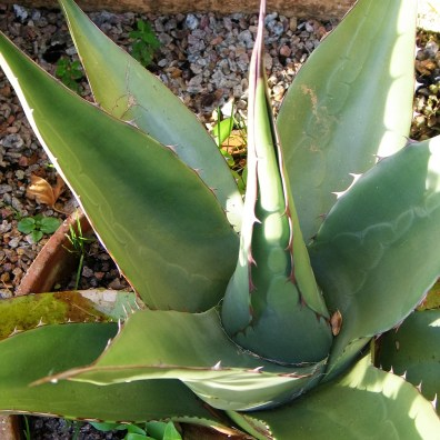Agave plant in the autumn sunshine