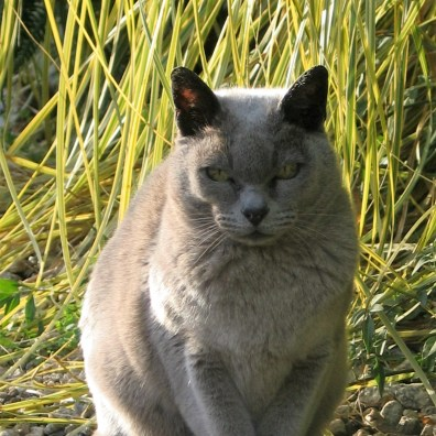 Grey burmese cat seeking the autumn sunshine