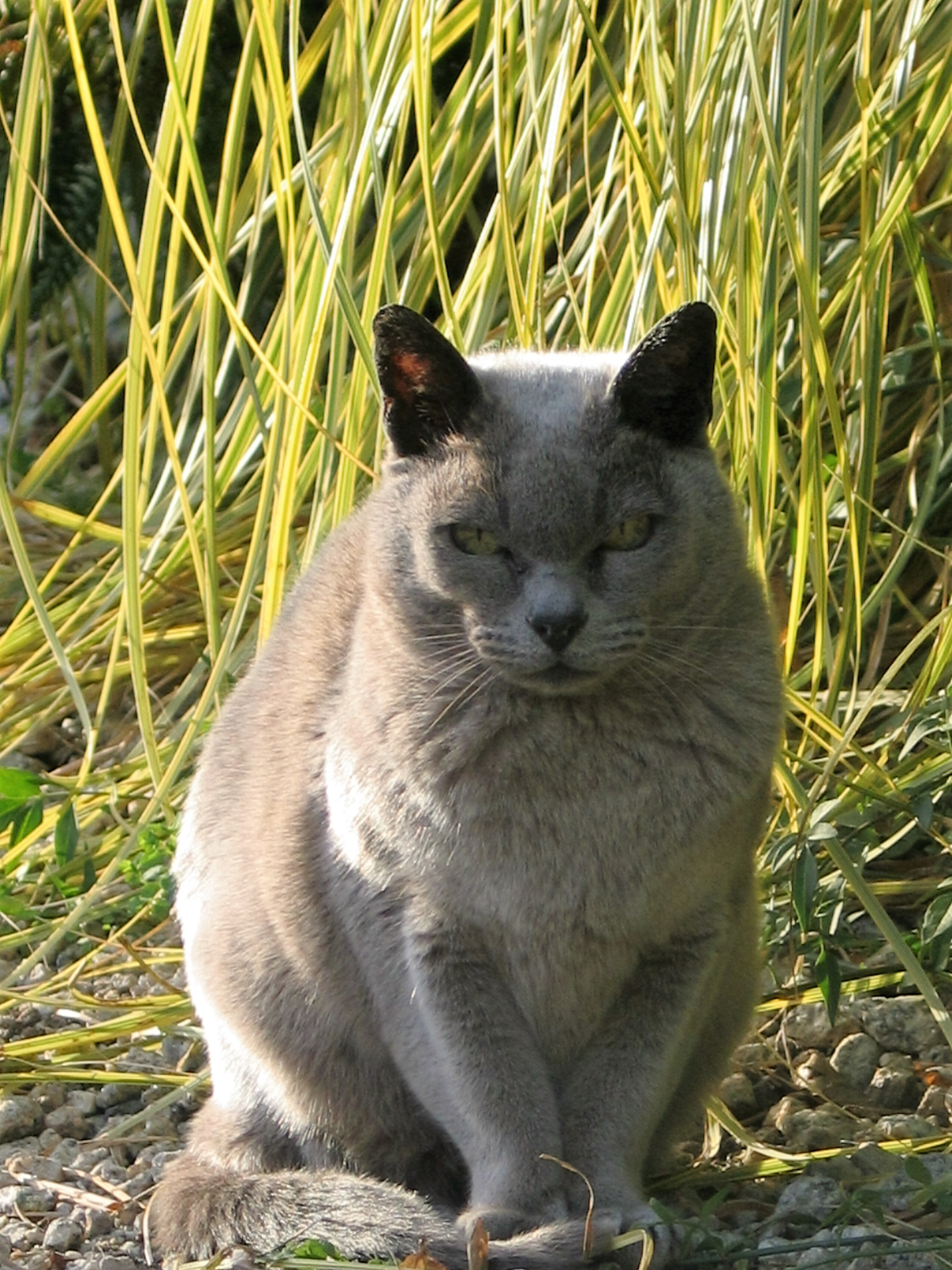 Grey burmese cat seeking the autumn sunshine