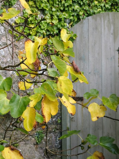 Fading fig leaves with a boarded garden door