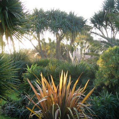 Mornign sunshine catches a phormium in brigh light