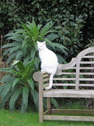 cat on a bench with Echiums