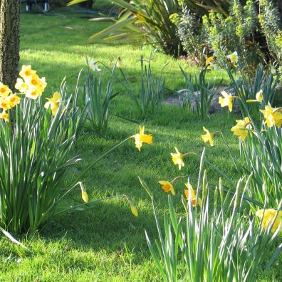Spring morning lush grass and daffodils