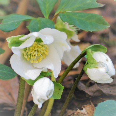 White helebore brightens the spring gardne