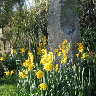 Daffodils and Narcissi in spring