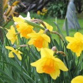 The last of the spring Daffodils