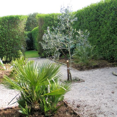 The Olive tree centre of teh garden project
