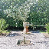 An Olive tree with silver leaves forms a central point