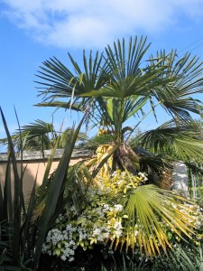 trachycarpus fortunei in flower