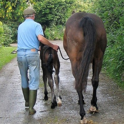 Young foal being led for thefirst time beside his mother