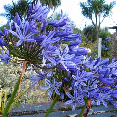 Brilliant blue agapanthus flowers
