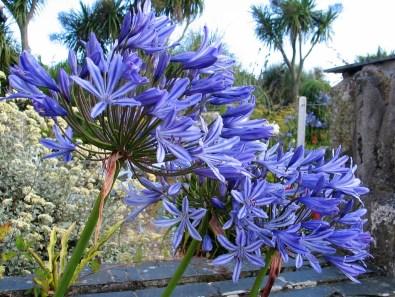 Brilliant blue agapanthus flowers