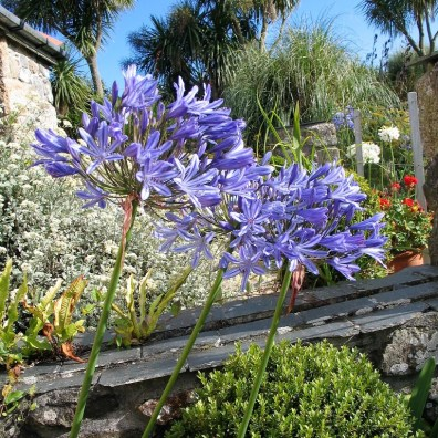 Blue Agapanthus amongst palms - cornwall