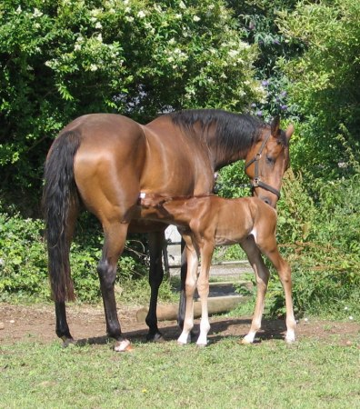 Archie chestnut foal with is dam
