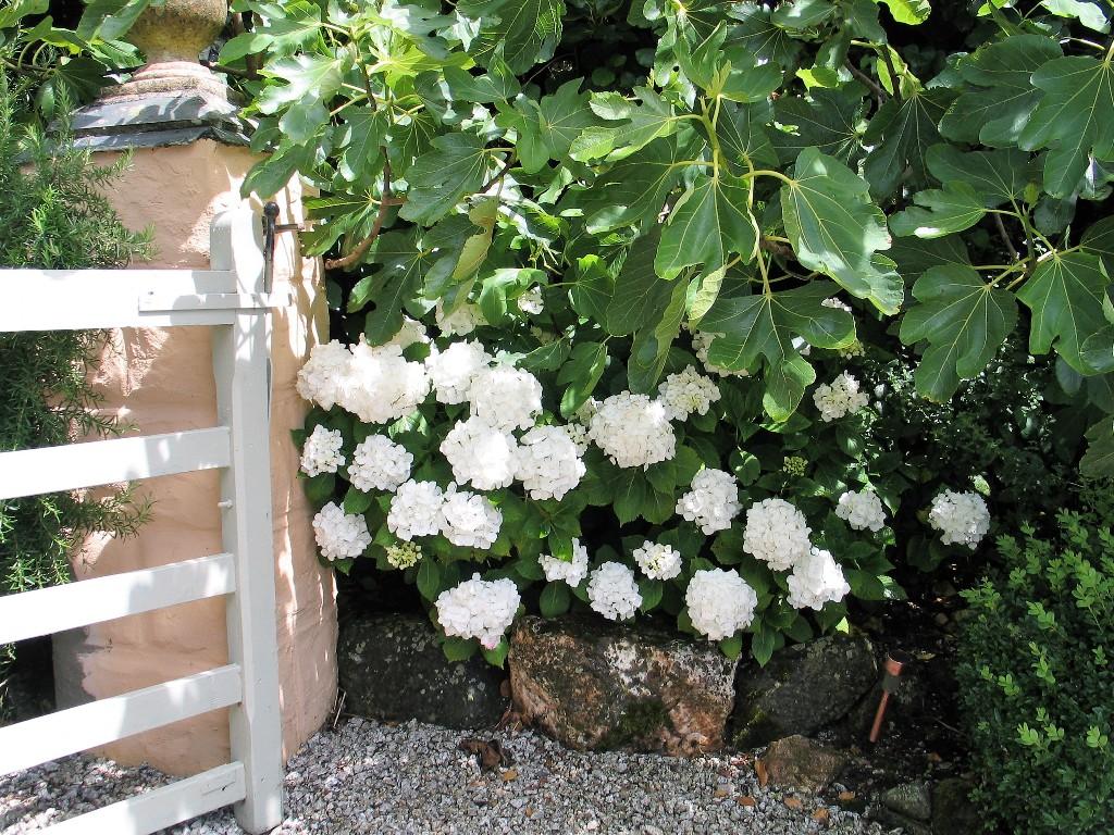 Lush white hydrangeas underplanting fig trees