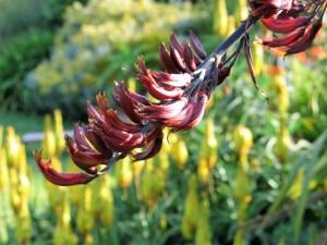 Phormium flower in June