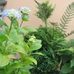 Topiary and blue hydrangea