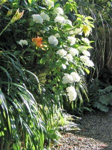 White hydrangeas tumble from an urn