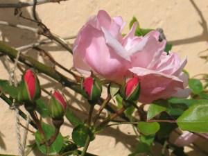 Soft pink, nostalgic, Albertine roses