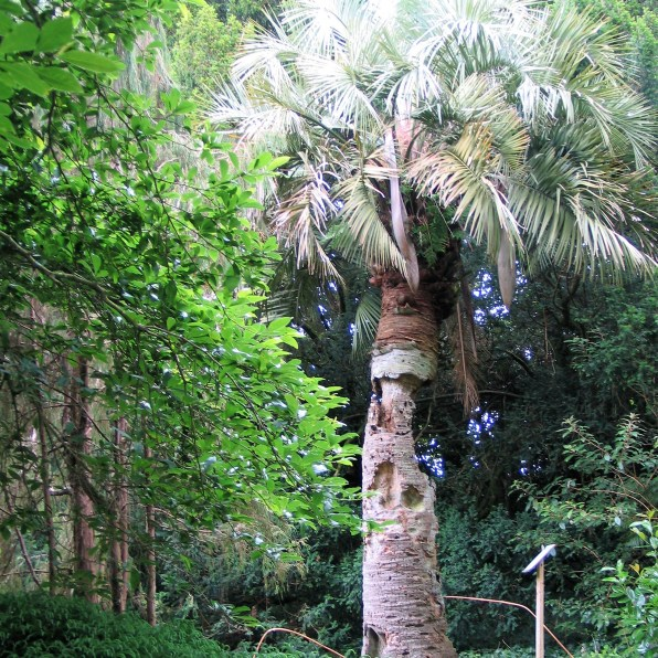 Venrable Jelly Palm