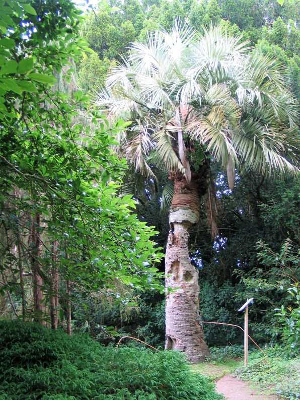 Venrable Jelly Palm