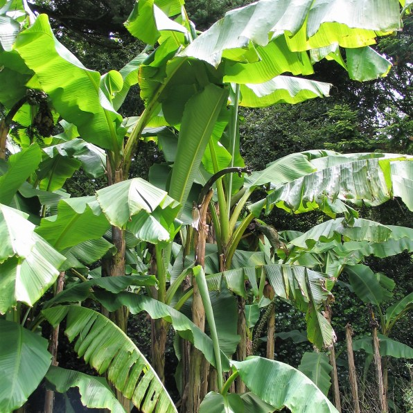 Stand of Bananas trees - trewidden garden