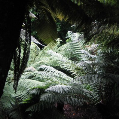 Otherworldly tree ferns