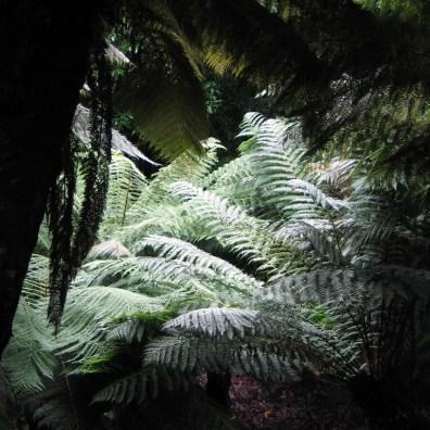 Otherworldly tree ferns
