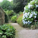 Hydrangeas behind the walled gardens