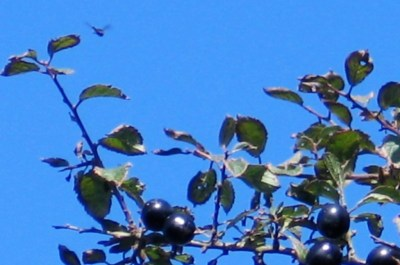 Glossy back sloes - blackthorn fruits to make sloe gin
