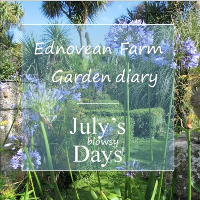 July garden diary - blue agapanthus