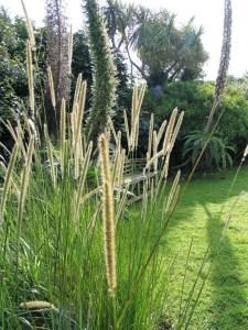 grasses in the august garden