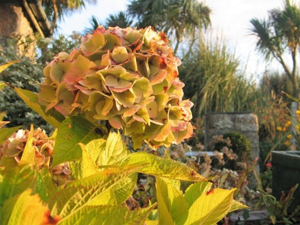 Hydrangea flower in golden light