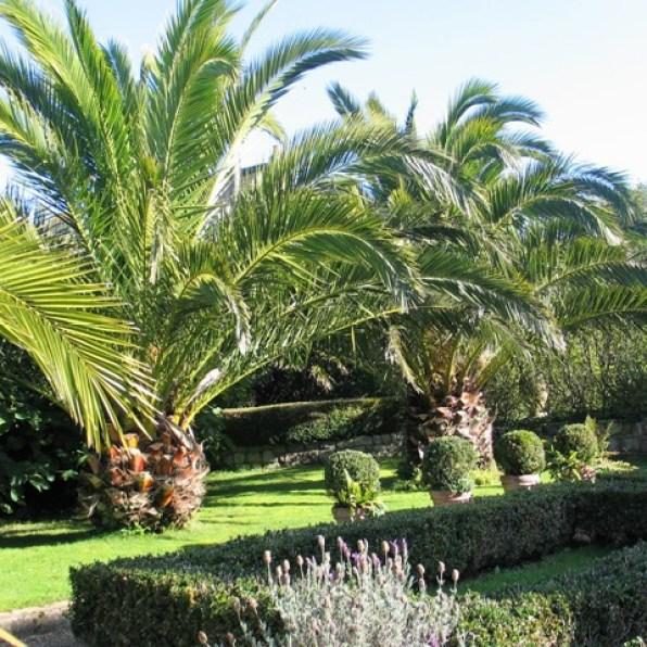 Date Palms beside Parterre