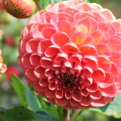Salmon pink Dahlia - part of the National Collection