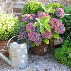 vintage watering can and fading hydrangeas - september